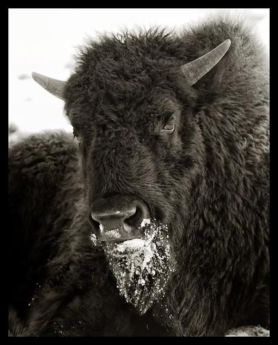 nikon bison d800 70200mmf28nikkor ©copyright
