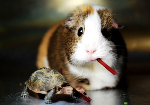 """What? New HAMSTER?"" ~ Balbinka & Turtle"