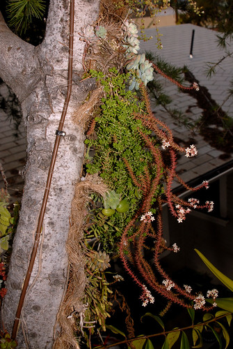 Sedum album and Villadia elongata Growing Epiphytically