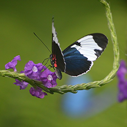 Red, white and deep blue Heliconius sapho is nectaring on purple Porterweed by jungle mama