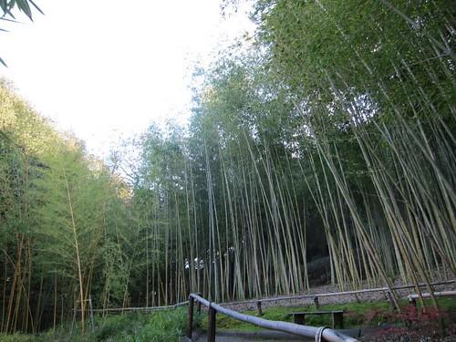 Hakone Japanese Gardens, Saratoga, CA, bamboo IMG_2470