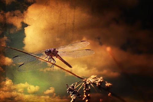 [フリー画像素材] 動物 (その他), 昆虫, トンボ ID:201301140400