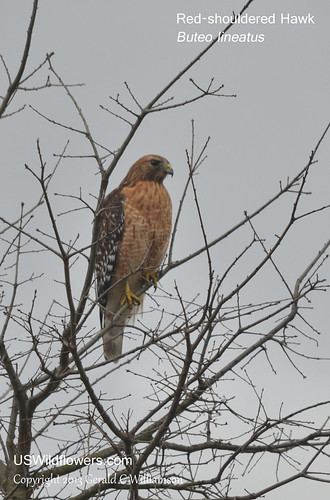 Red-shouldered Hawk - Buteo lineatus by USWildflowers, on Flickr