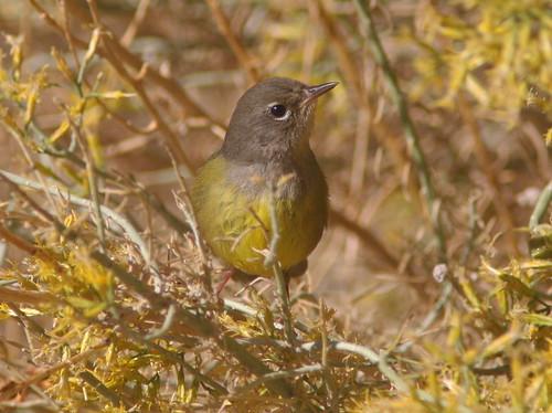 MacGillivray's Warbler Butterbredt Spring 2012.10.24 01a