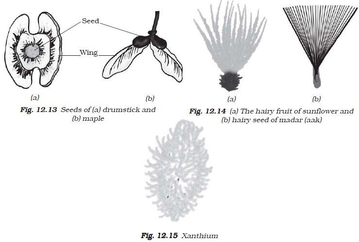 Ncert class vii science chapter 12 reproduction in plants the seeds are scattered far from the parent plant this happens in the case of castor and balsam ccuart Choice Image