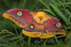 Moths of DR Congo
