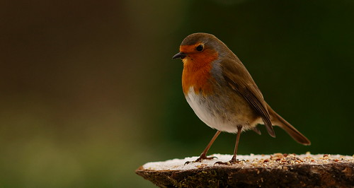 Hungry Robin (2)