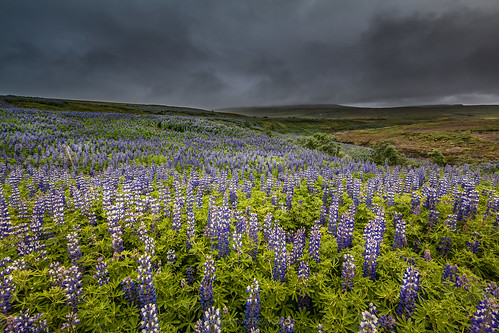 iceland islande north northernlight viking canon 70d nisifilter polarised lightroom6 photoshopcs3 1022mm landscape paysage europe 2016 july road trip lupin lupinus nootkatensis flowers colored view light clouds