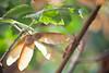 Maple Seeds Hang