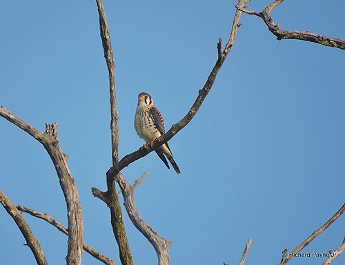 Male American Kestrel_N6403