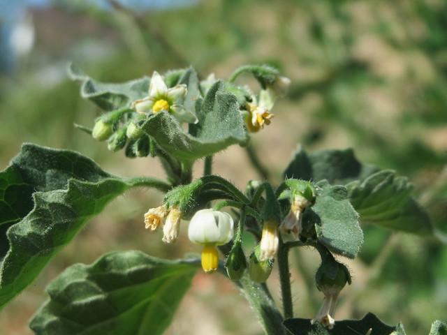 Solanum nigrum, Canon IXUS 510 HS