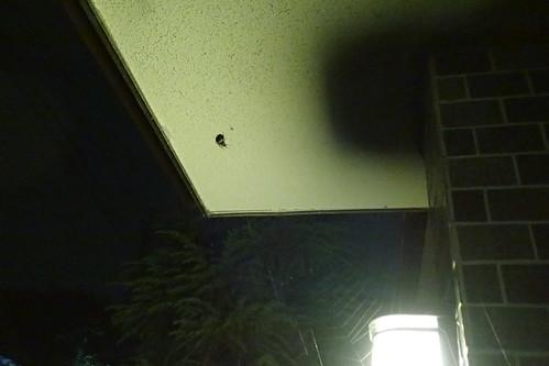 実家のクモ