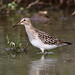 Pectoral Sandpiper_9245 (Terceira, Azores, 15 Oct 2009) © Dominic Mitchell