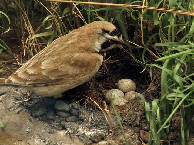 Horned Lark at nest