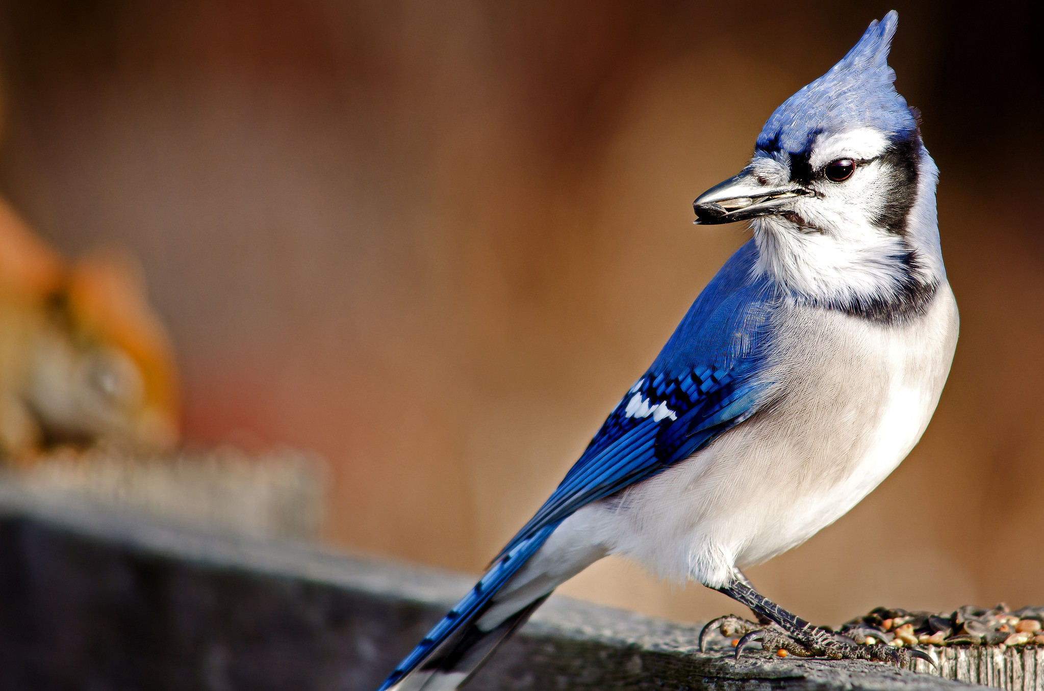 Blue Jay and Red Squirrel | Male Blue Jay spots the Red ...