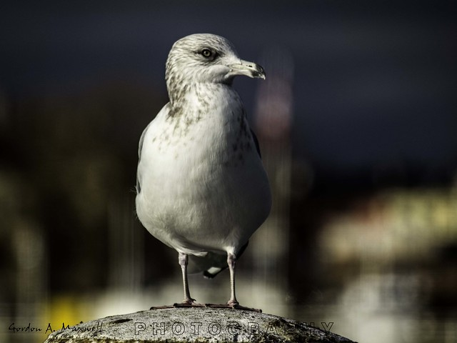 Seagull on a post 2