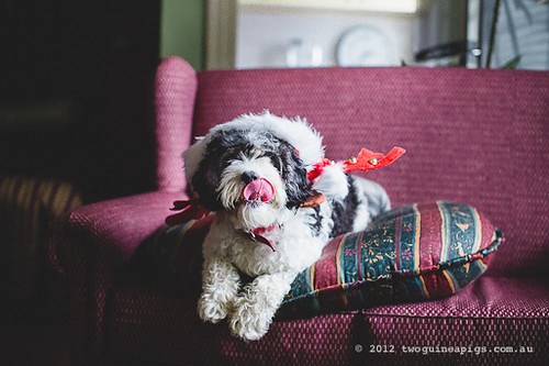 Bernard the Reindeer aka Angel by twoguineapigs pet photography
