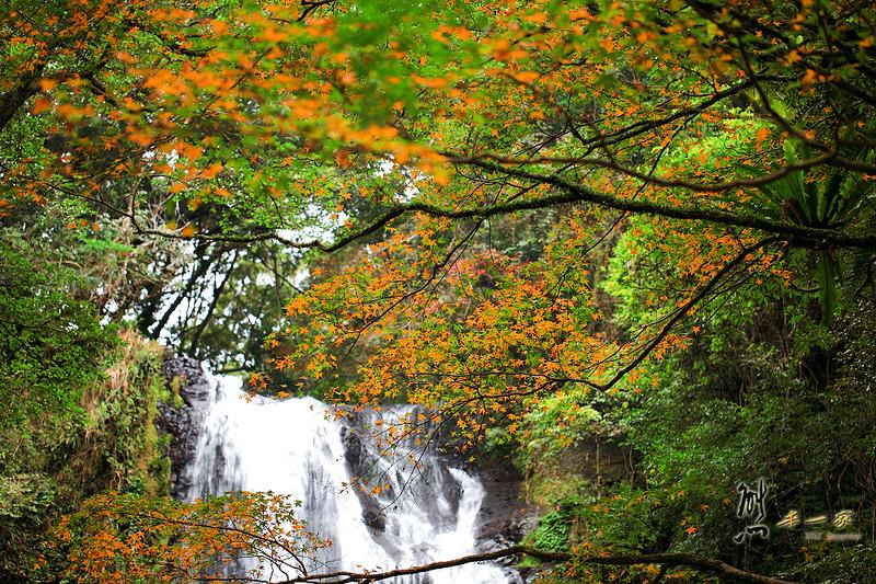[三峽賞楓景點] 雲森瀑布~12月中尋楓記再訪