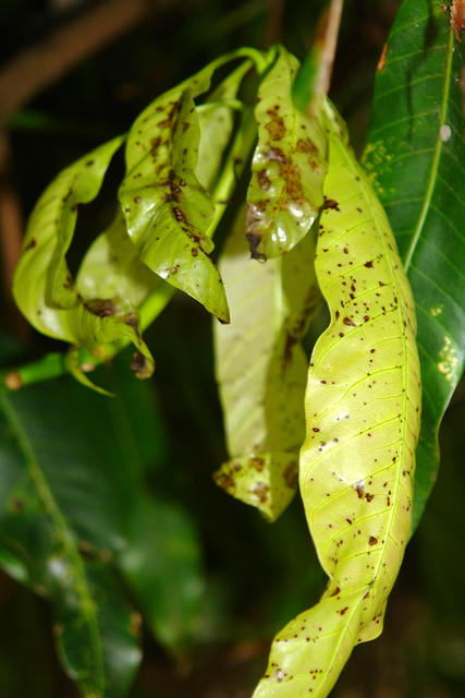 anthracnose on mangoes Mangoes are susceptible to a large variety of pathogens, including root rot, anthracnose, die back, and leaf spot, among others however, one of the most prevalent and damaging diseases of this crop is powdery mildew of mango, caused by oidium mangiferae.