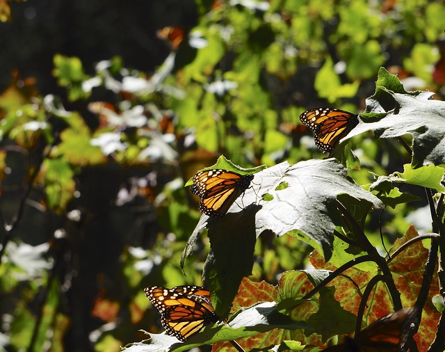 Monarchs 179