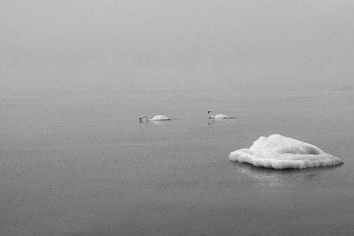 Swans in the Baltic Sea