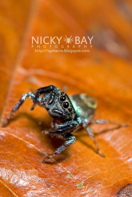 Jumping Spider (Thiania sp.) - DSC_7569