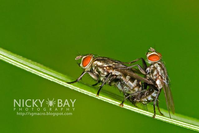 Flesh Flies (Sarcophagidae) - DSC_5047