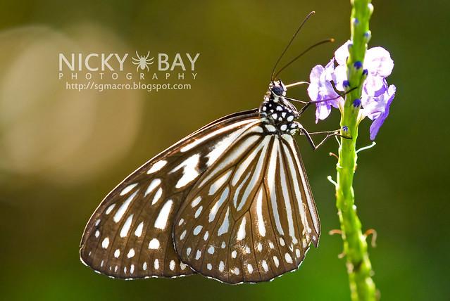 Blue Glassy Tiger (Ideopsis vulgaris) - DSC_9343
