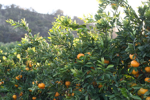 Satsuma Mandarin Trees
