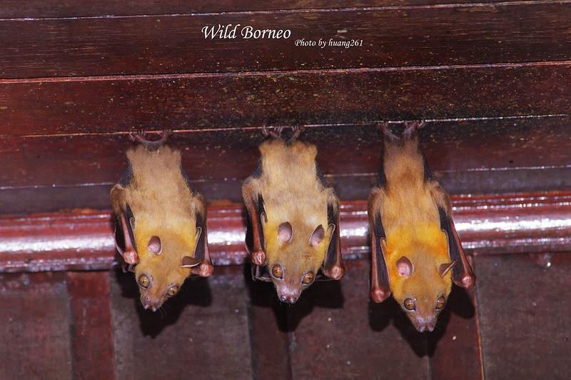 Wild Borneo 野性婆羅洲-鳥類&其他