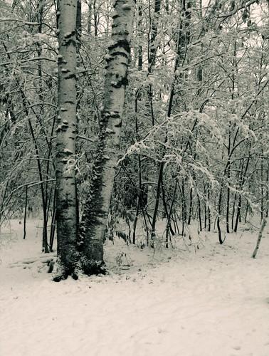 trees winter white snow cold tree wisconsin birch