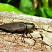 Small photo of Jewel Beetle (Actenodes chalybaeitarsis)