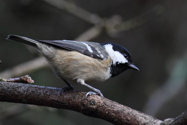 Coal-tit in our garden. New Year's Day