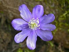 Liverleaf (Anemone hepatica)