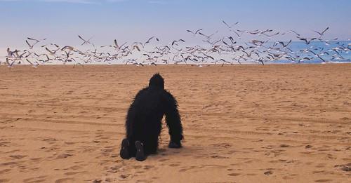 Gorilla Chasing Seagulls