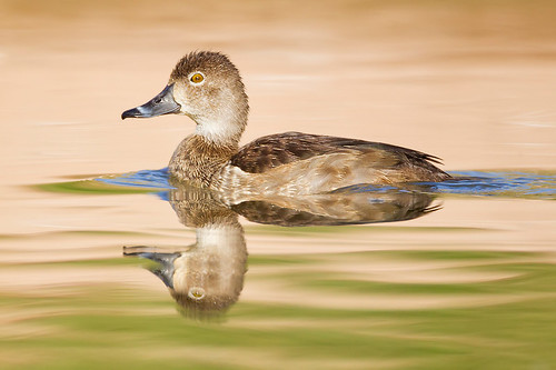 Gilbert Ring-necked Duck by Jeff Dyck
