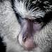 Mona Monkey (Fr_Singe Mona)