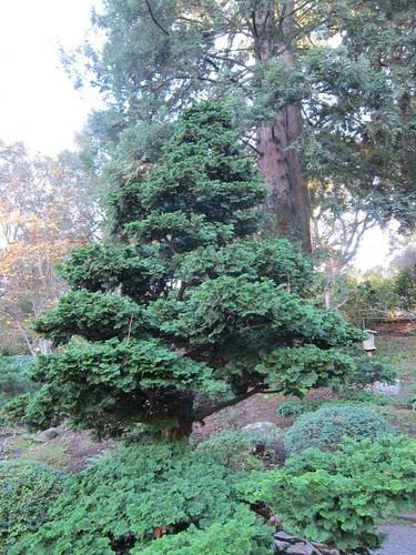 Hakone Japanese Gardens, Saratoga, CA, tree IMG_2426