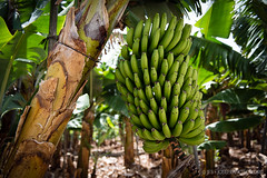 Banana tree, La Palma