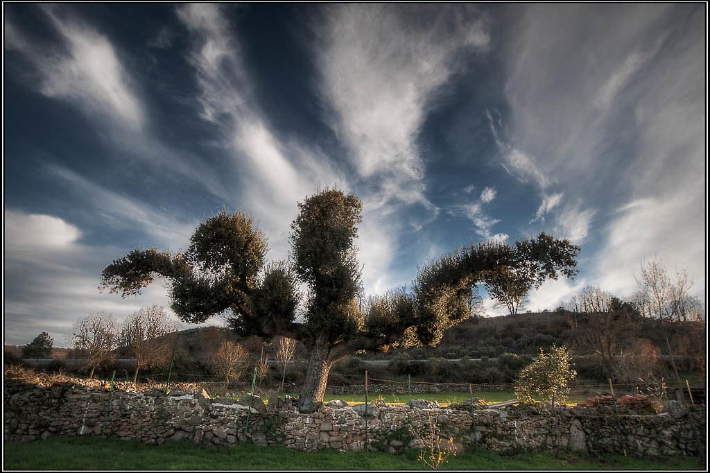 Quercus ilex (encina) - La Alberguería de Argañán (Salamanca)