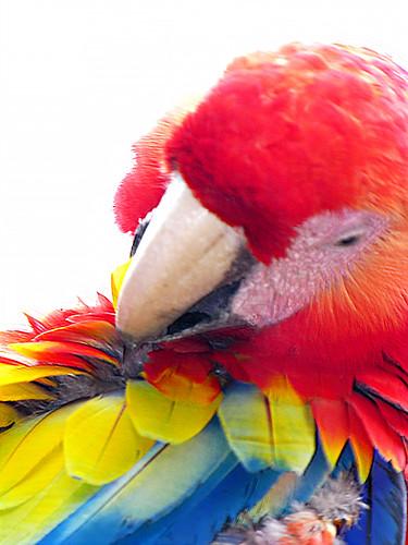 Honduras-0139 - Clean Bird...fell in a paint bucket...