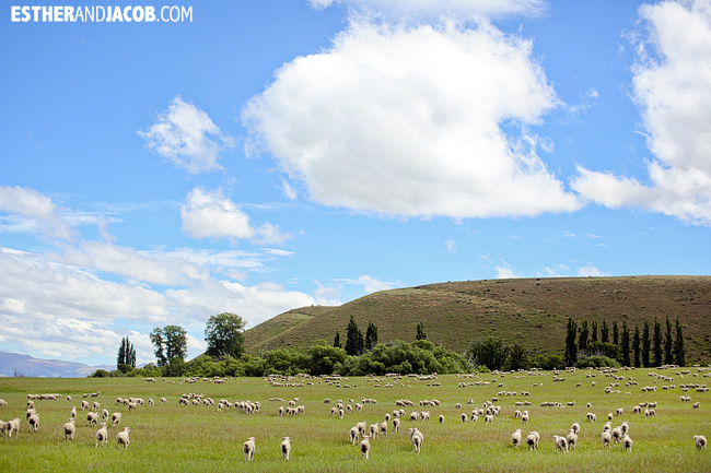 New Zealand Sheep! | Day 2 New Zealand Contiki Tour | Christchurch to Lake Ohau | A Guide to South Island