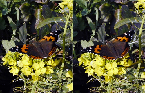 Vanessa indica, stereo parallel view