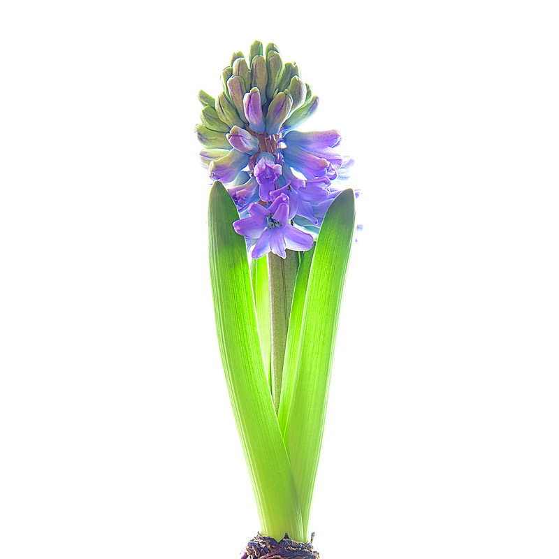 Photo: Hyacinth