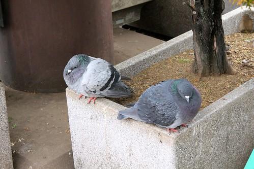 Rotund Pigeons