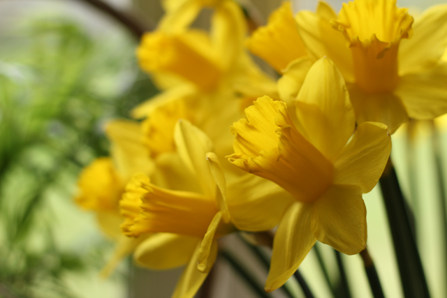 first narcissuses this year