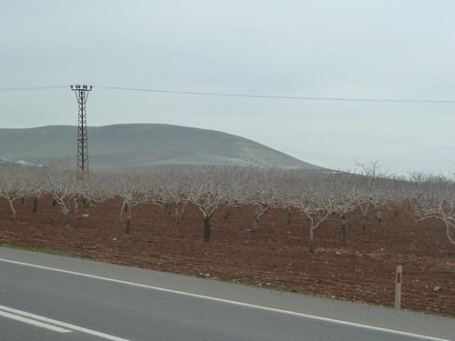 Pistachio trees east of Birecik by mattkrause1969