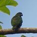 Black-billed Parrot (Tom Mabbett 2016 tour)