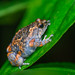Bullfrog In love stories