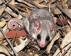 opossum(0.0), virginia opossum(0.0), viverridae(0.0), animal(1.0), possum(1.0), common opossum(1.0), mouse(1.0), mammal(1.0), fauna(1.0), dormouse(1.0), whiskers(1.0), wildlife(1.0),